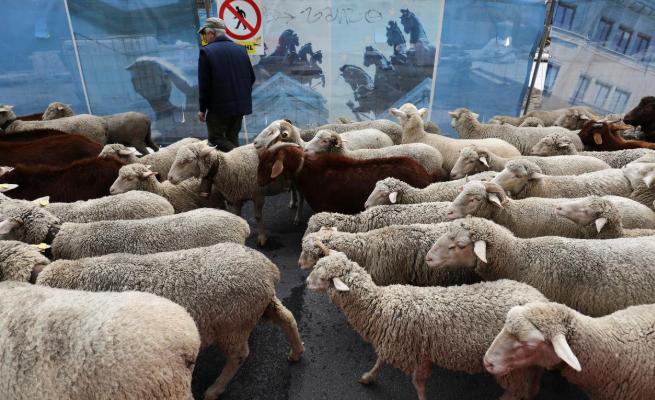 عبور گوسفندان از قلب مادرید (