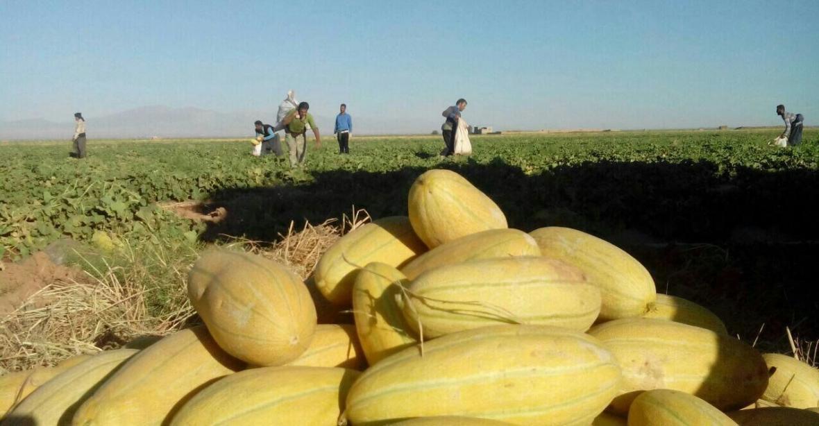 شیرینی کام کشاورزان سمنانی با برداشت نوبرانه های تابستان