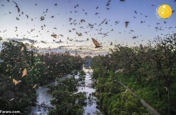 (تصاویر) هجوم خفاش ها به استرالیا!
