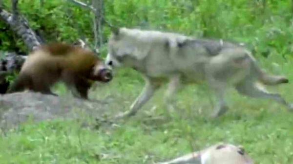 نبرد دیدنی گرگ با گورکن